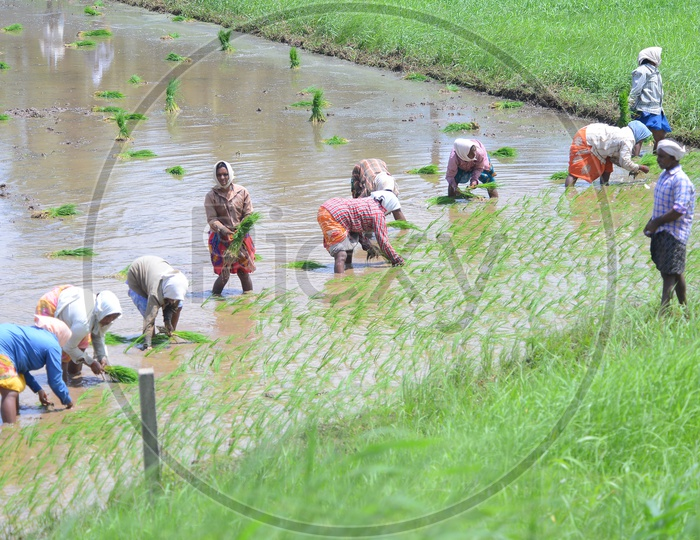 Agriculture Paddy Fields - Women at Work