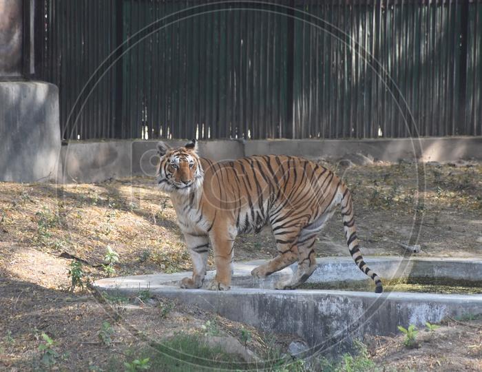 Bengal Tiger in Delhi Zoo