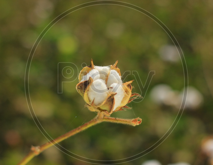 Cotton Plant  Flower ready for harvesting with a Field  Background