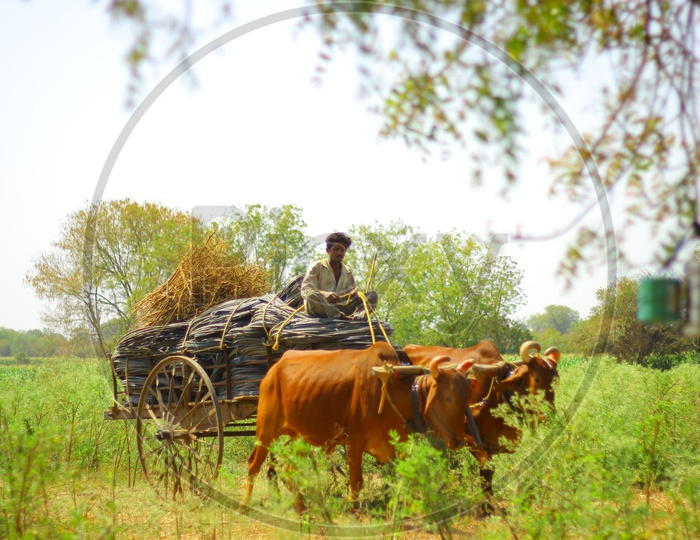 A Bullock Cart Carrying Goods Of a Farmer in an Agricultural Field