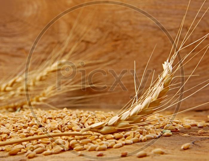 Wheat / Wheat Grains / Wheat Grains Closeup Shot / Golden Colour Wheat Grains / Wheat Yeild / Ceral Grain