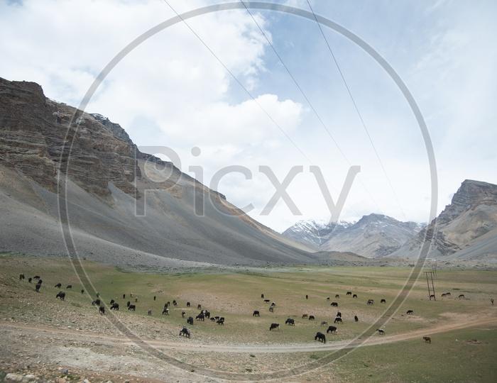 Valleys in Leh / Ladakh with Cattle having feed in Barn Land Grasses