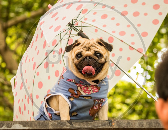 Pug  dressed and posing with an umbrella at Dog Show