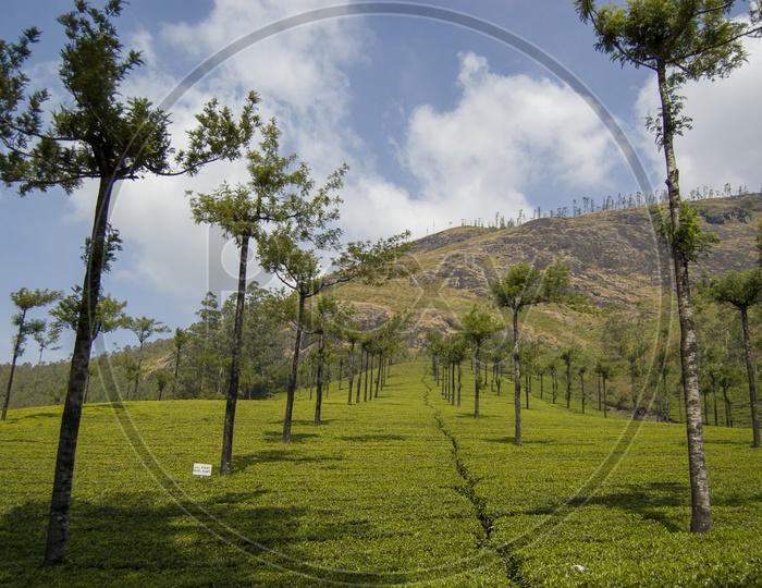 Tea Plantations in Munnar