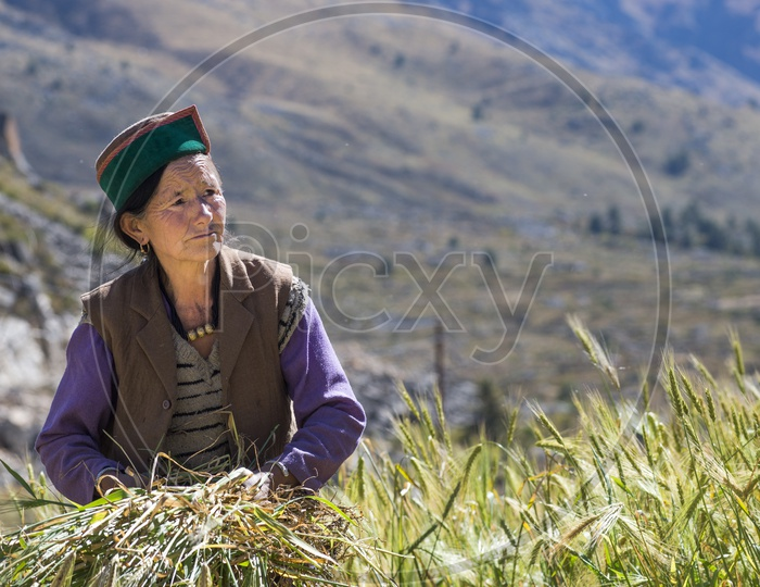 Farmers Started Harvesting the Wheat  Crop in Chitkul Village
