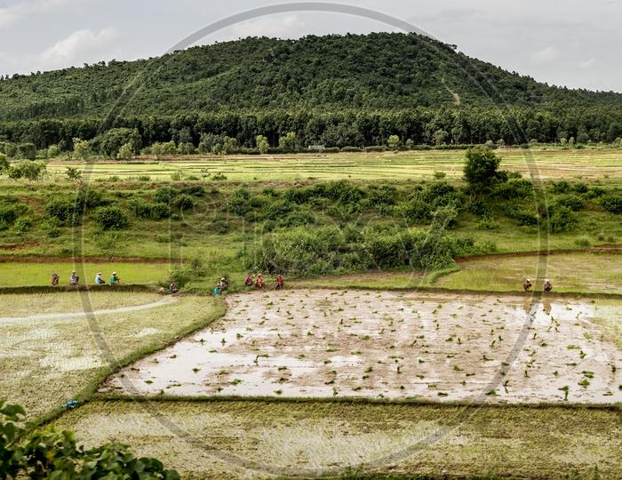 Female Farmers Planting Paddy Saplings