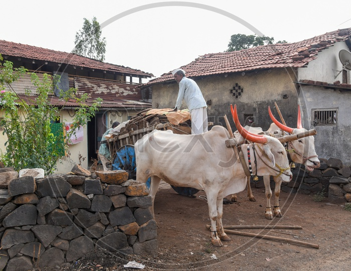 Loading Bullock Cart with dung cakes