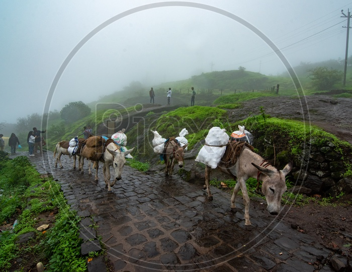 Donkeys used for transporting goods at Sinhagad Fort