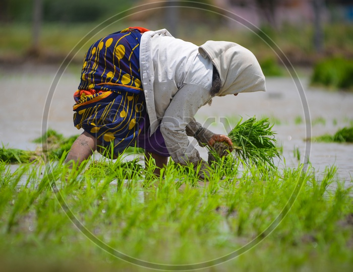 Paddy fields, Agriculture