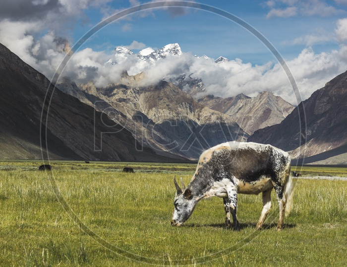 Grazing by Himalayas