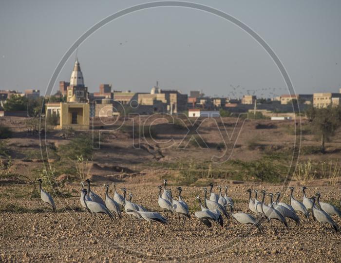 Demoiselle cranes of Kheechan
