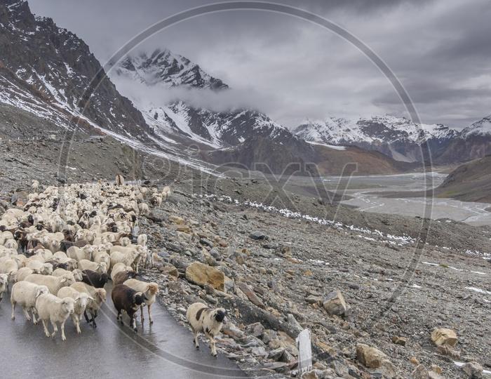 Sheep at Manali to Leh by Road