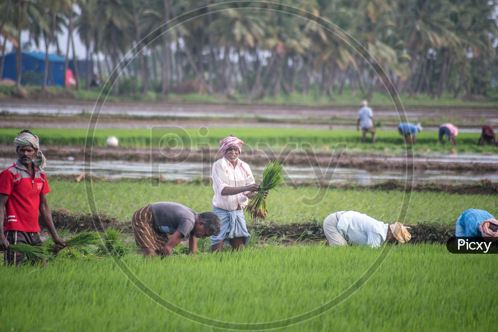 farmers in paddy fields