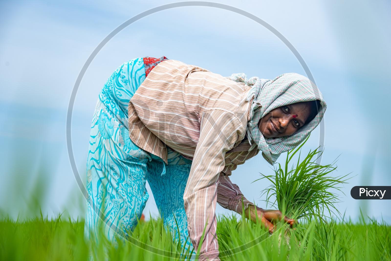 working  farmer women in paddy fields