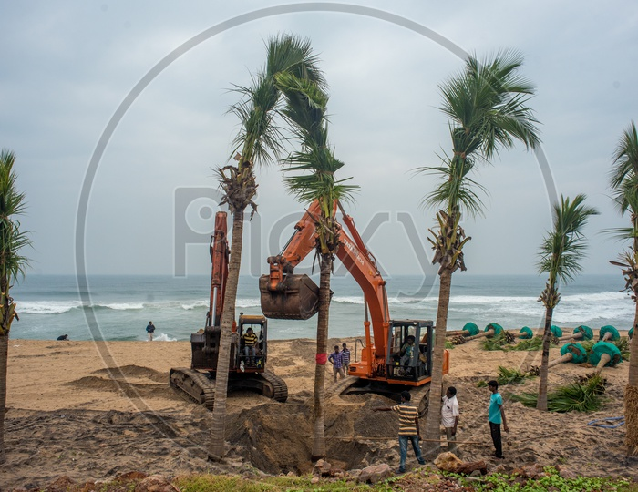 fully grown coconut trees being transplanted to beach road for tourism