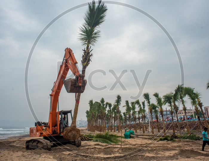fully grown coconut trees being transplanted to vizag beach road for tourism