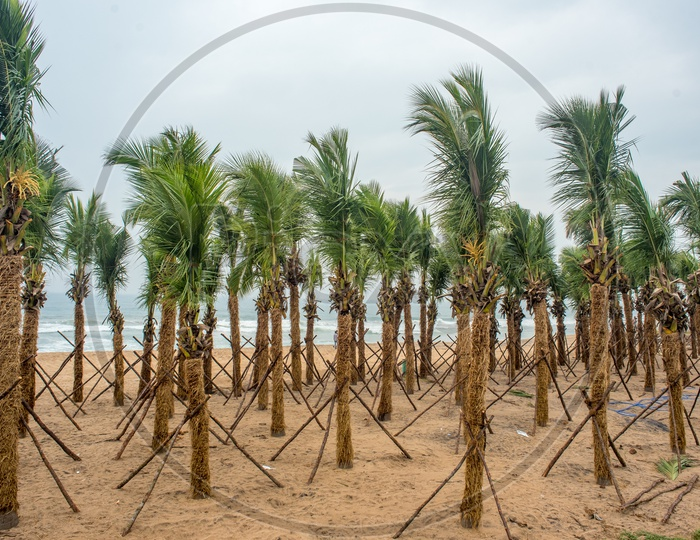 fully grown coconut trees being transplanted to Visakhapatnam beach road for tourism.