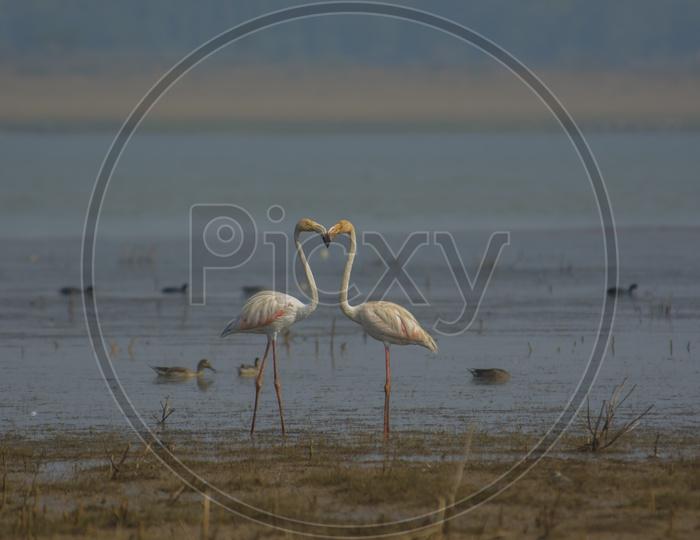 Two Flamingo Birds form shape of a Heart