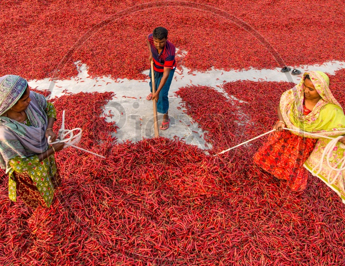 Red Chilli Workers   People working in red chilli farms