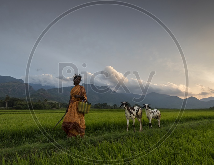 An Indian village Woman With Her Goats in a Paddy Field