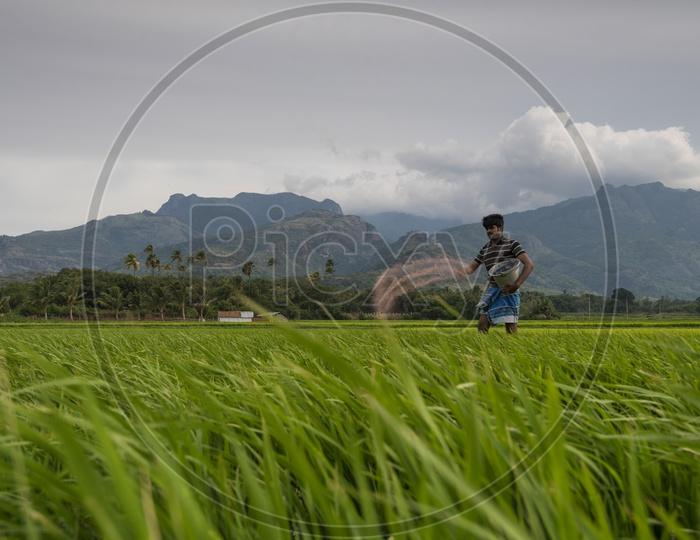 A Farmer Sprinkling Fertilizers in His Paddy Field