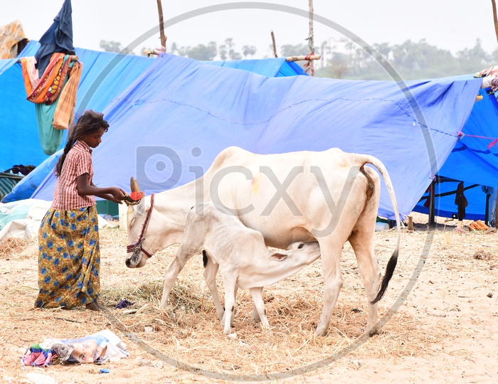 Indian Rural girl taking care of the cows