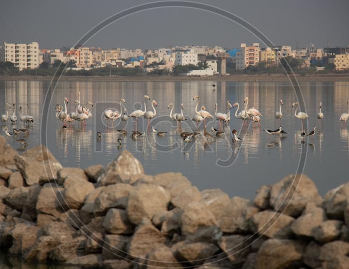 Flamingo Birds In Ameenpur Lake