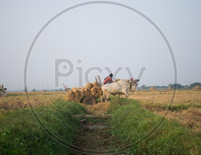 Indian Bullock Cart Carrying Paddy