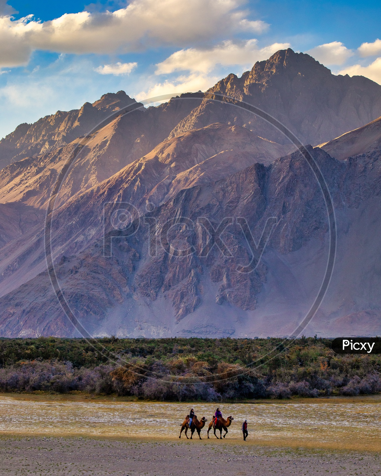 Camels In Hunder Sanddunes At Nubra Valley
