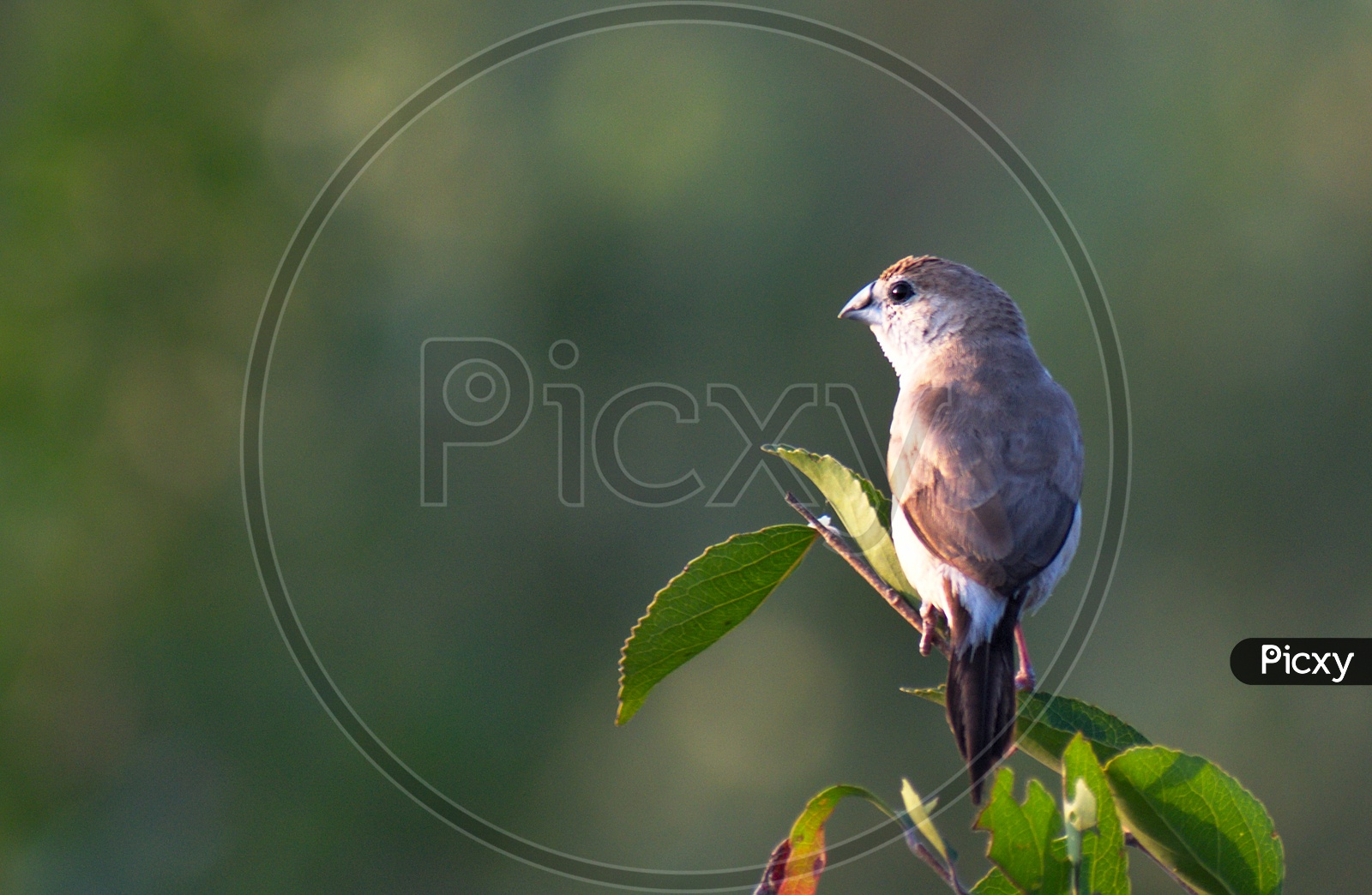 White chested munia