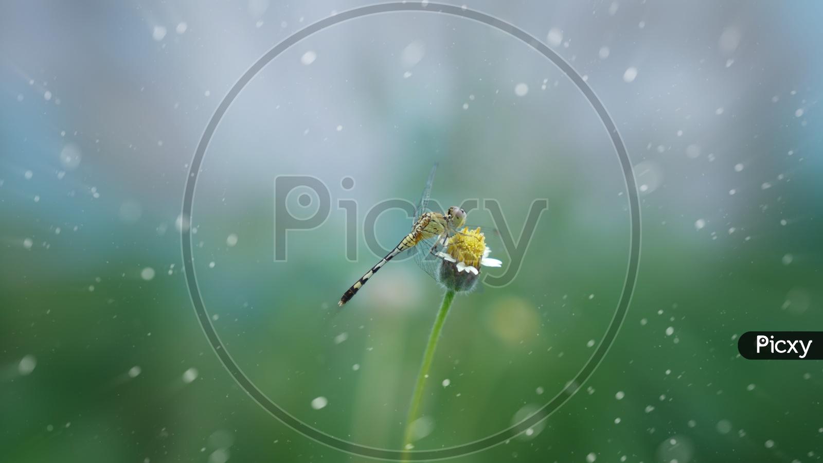 A Dragon Fly On a Garden Flower