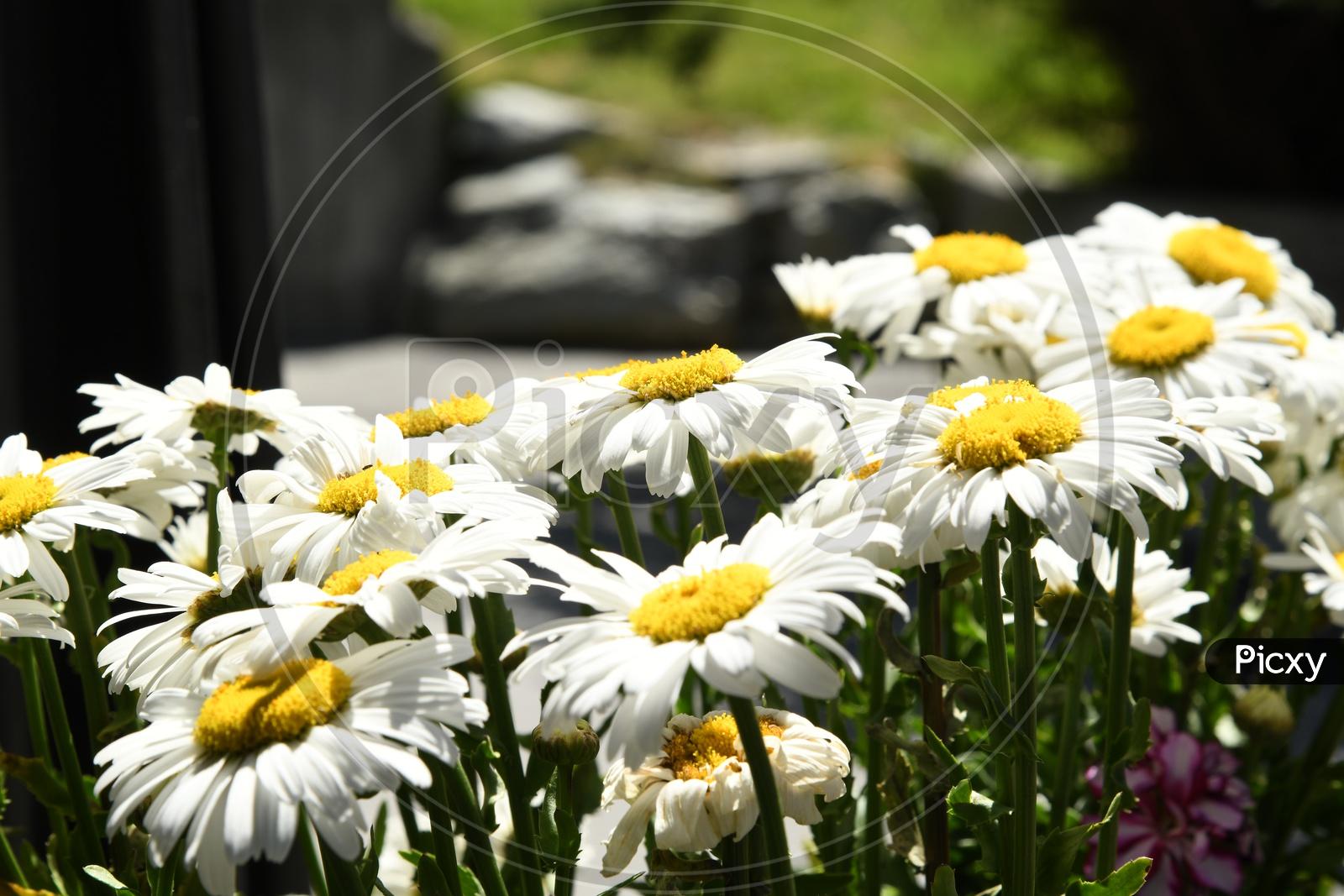White Chrysanthemum Flowers Blooming on Plant