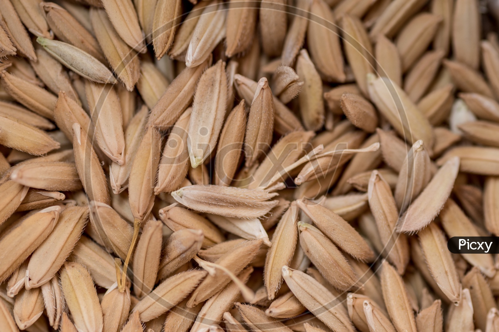 Paddy Grains Or Rice Grains