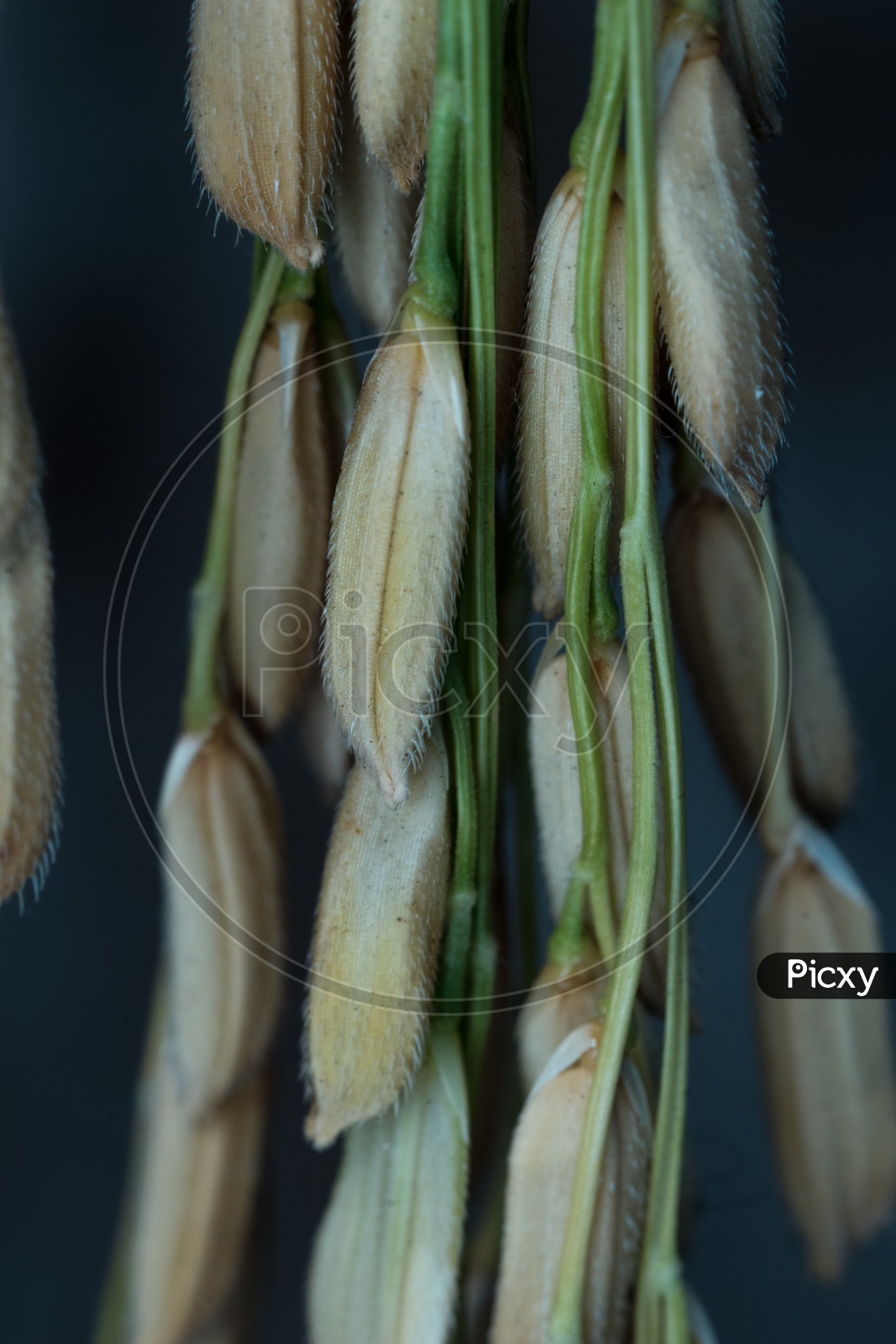 Paddy Grains Called As Rice