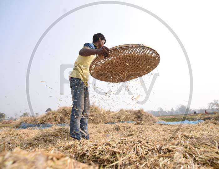 Indian Farmers Harvesting Paddy In Morigaon, Assam