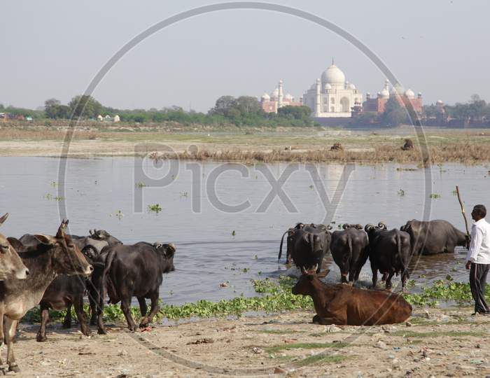 Buffaloes in River at Taj Mahal, Agra
