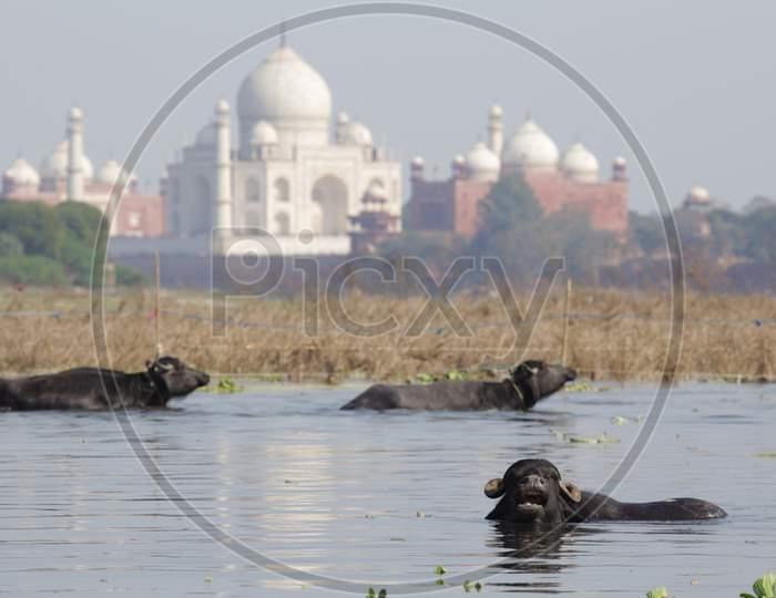 Buffaloes swimming in Yamuna River at Taj Mahal, Agra