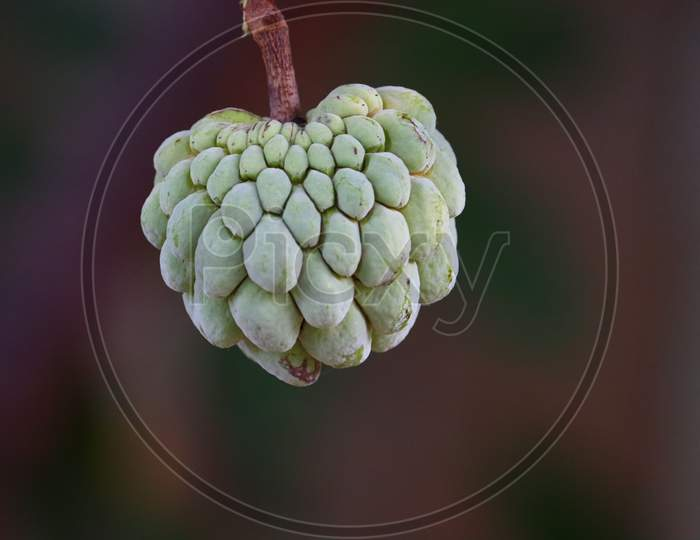 This Is A Beautiful Fresh Sugar Apple Fruit'S Or Crystal Apple.Fresh Sugar Apple On Tree In The Garden Tropical Fruit Custard Apple On Nature Green Background
