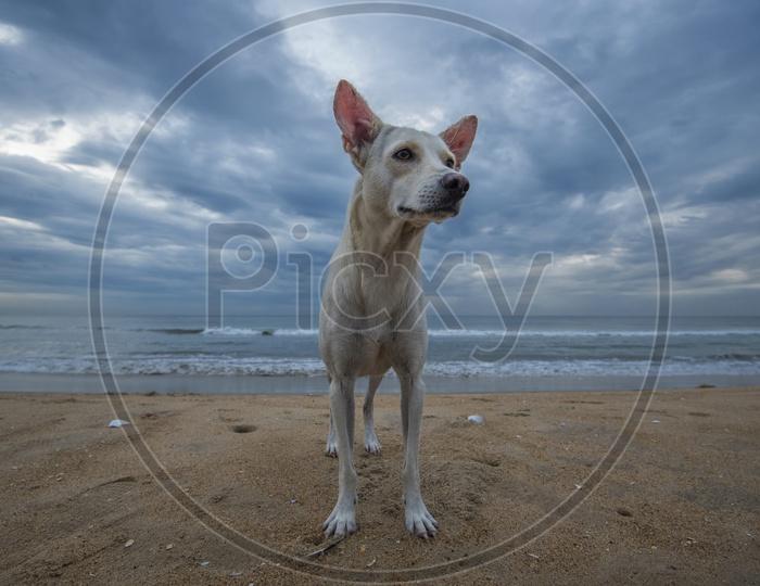 A white dog along the beach side at Kanyakumari
