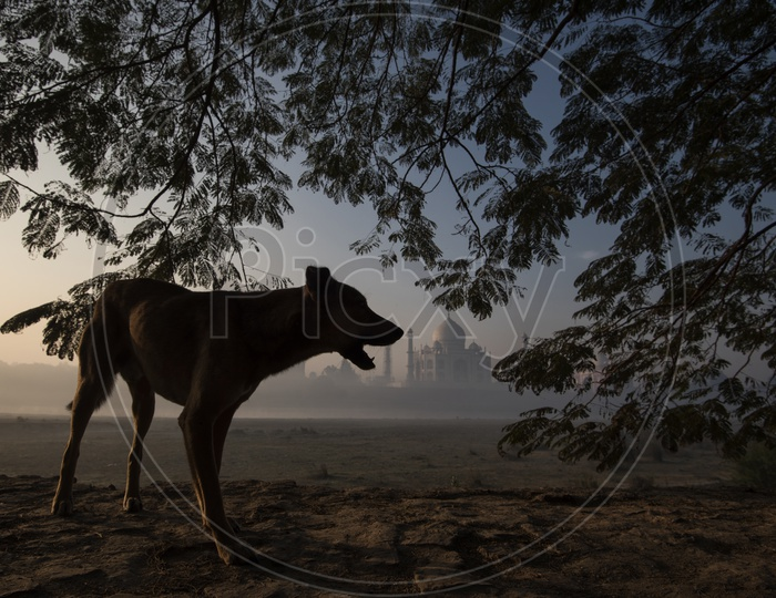 Street Dog under a Tree and Taj Mahal in Background