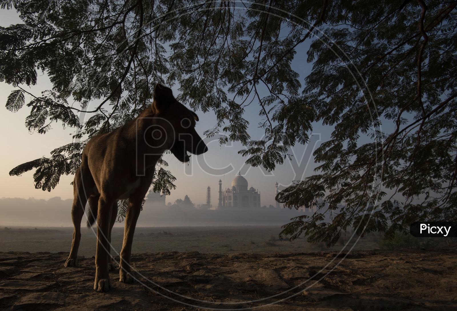 Dog and Taj Mahal