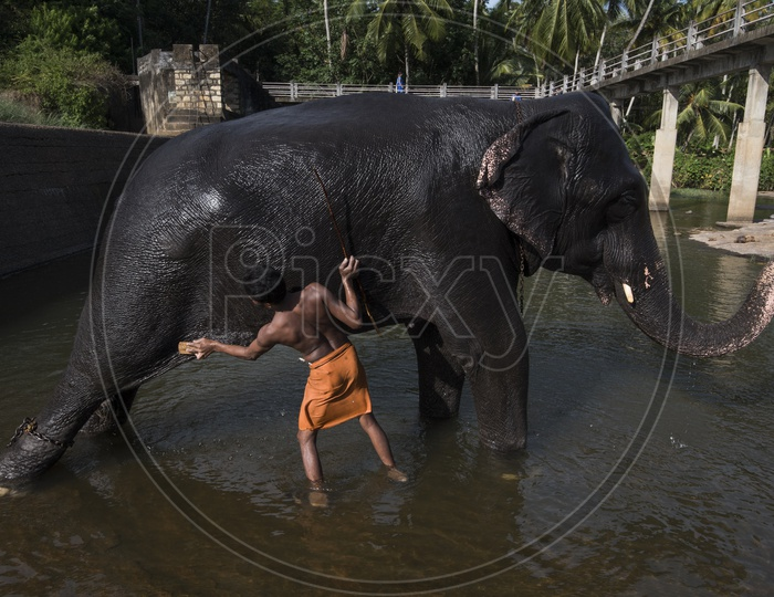 Man Cleaning Elephant