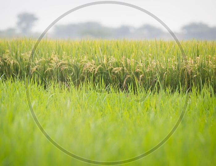 Paddy Crop Yield with Rice Ears in a Paddy Field