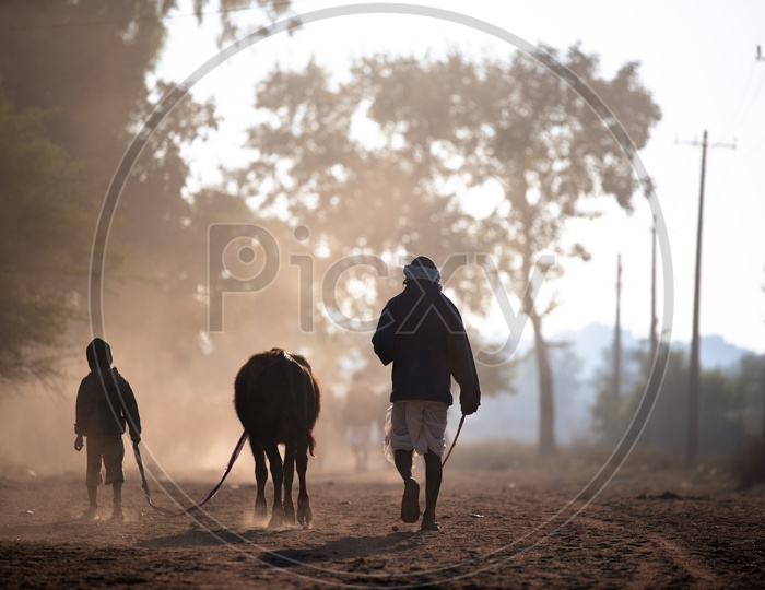 An Old Man And His Grand Child Taking The Cattle to a Agricultural Farm on a Winter morning in Rural Village Of telangana