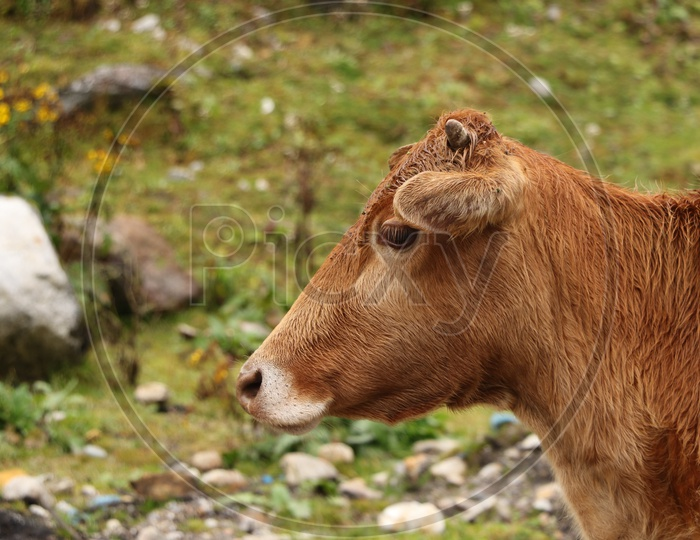 A cow in the pasture
