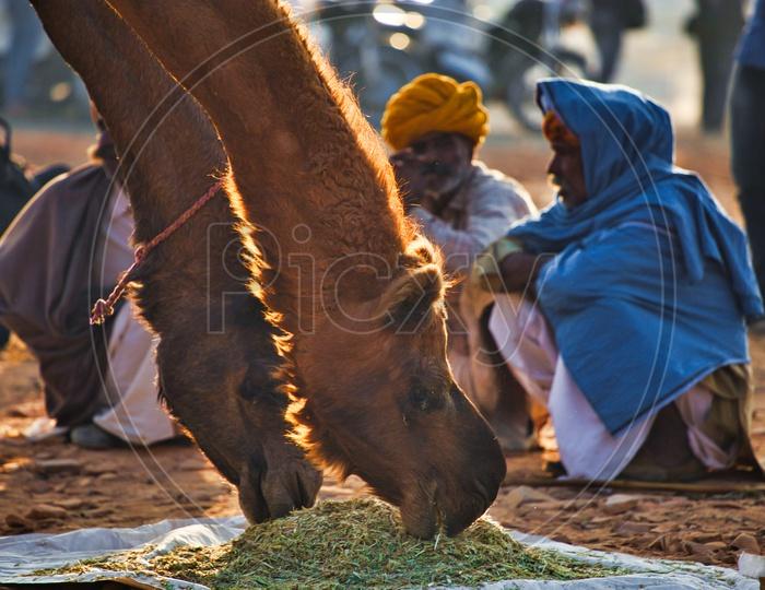 Camel herders in pushkar