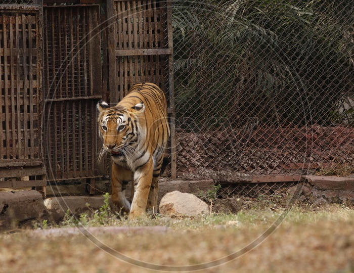Tiger in the zoo - Wild Animal