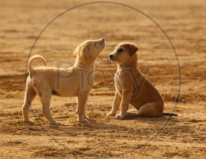 Puppy dogs in Desert