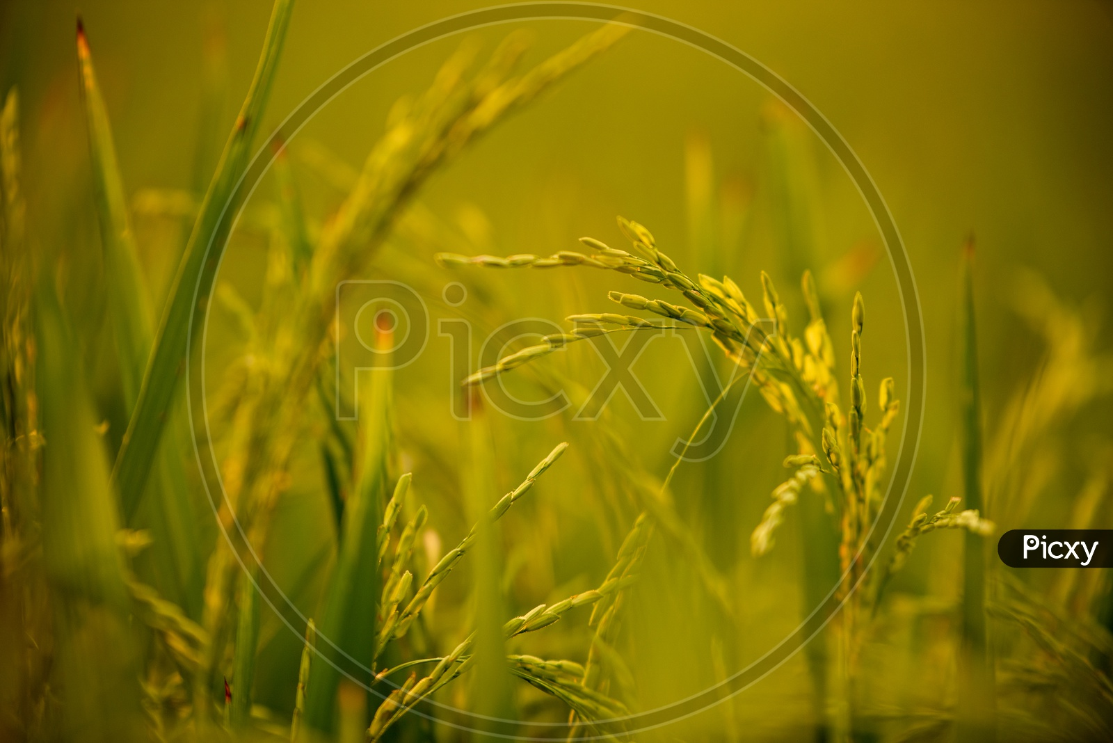 Young  Green Rice Ears  in  a Paddy Field