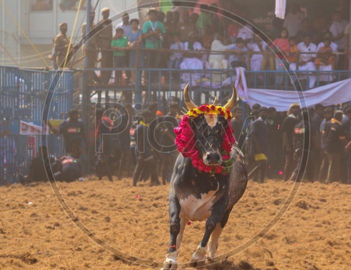 The Winning Bull of Jallikattu